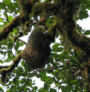 Two toed sloth in Santa Elena Reserve. Photo by D. Gordon E. Robertson