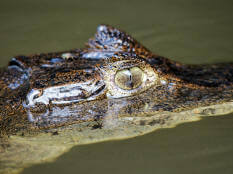 caiman_crocodilus_eye_tortuguero