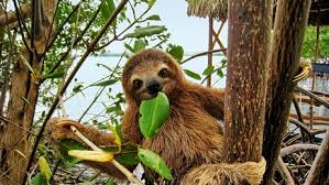sloth6